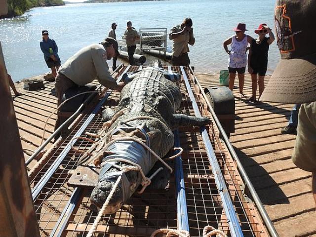Úc: Cá sấu khổng lồ mò theo thuyền chở du khách, hôm sau bị tóm gọn