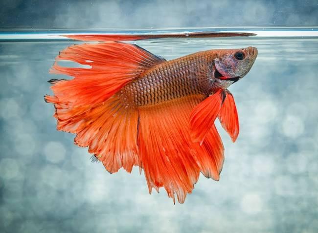 Cá betta (cá đá, cá xiêm, cá chọi) không quá lạ với những người nuôi cá cảnh. Dạo qua một vòng chợ online có thể thấy rất nhiều người rao bán loại cá này với giá dao động 20.000 đồng đến 70.000 đồng/con.