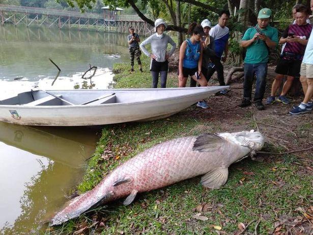 Video: Cá sông Amazon khổng lồ chết bí ẩn trên đảo ở Đông Nam Á - 1