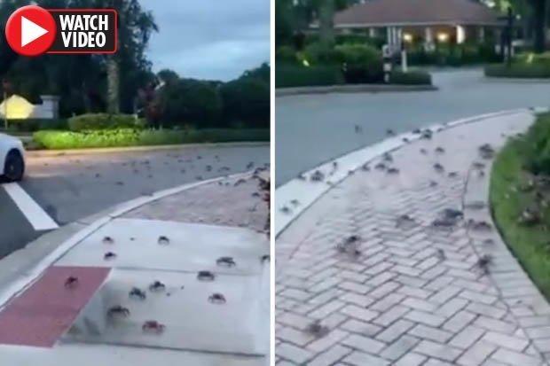 """Video: Hàng trăm con cua xâm chiếm đường phố Mỹ gây """"ác mộng"""" - 1"""
