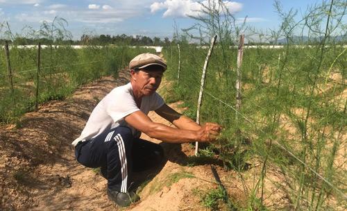 """Gã """"khùng"""" mát tay trồng măng tây trên cát, 1 tháng lãi 100 triệu - 1"""