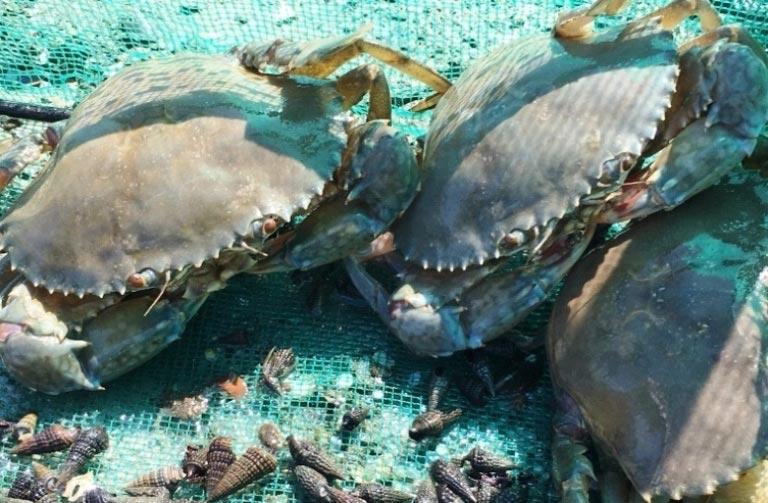 Khánh Hòa: Nuôi loài bò dưới đầm mập mạp, bán hơn 90 ngàn/con - 1