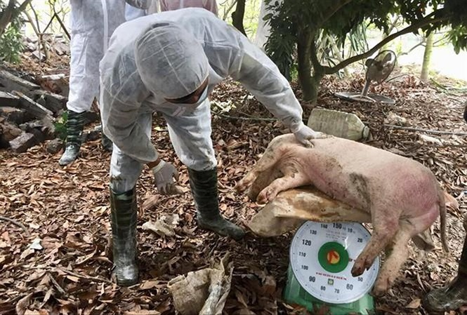 Dịch tả lợn Châu phi tạm lắng: Cẩn trọng khi tái đàn - 1