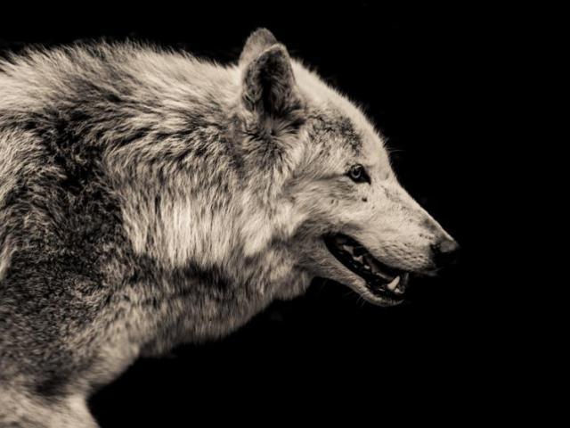 """3 con sói rủ nhau đi săn, bị con mồi đuổi ngược chạy """"bán sống bán chết"""""""