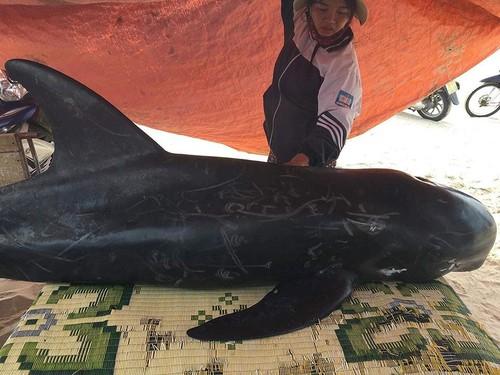 Cá voi dài 2m, nặng 150kg trôi dạt vào bờ biển Hà Tĩnh - 1