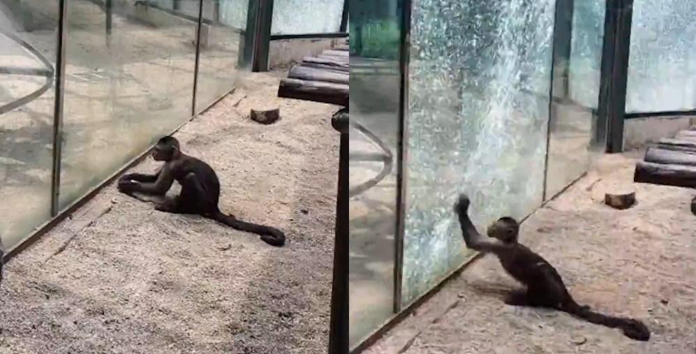 Video: Con khỉ tinh ranh vác đá đập vỡ lồng kính hòng tẩu thoát - 1