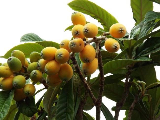 Ở Nhật Bản, quả loquat (nhót tây, tì bà)có tên là biwa. Cây này được tìm thấy ở Nhật Bản, Trung Quốc,bán đảo Triều Tiên, Ấn Độ và một số quốc gia ở Nam Âu và Trung Đông.