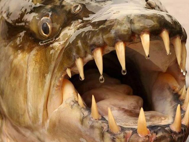 Thủy quái có hàm răng kinh dị, cá sấu cũng phải khiếp sợ