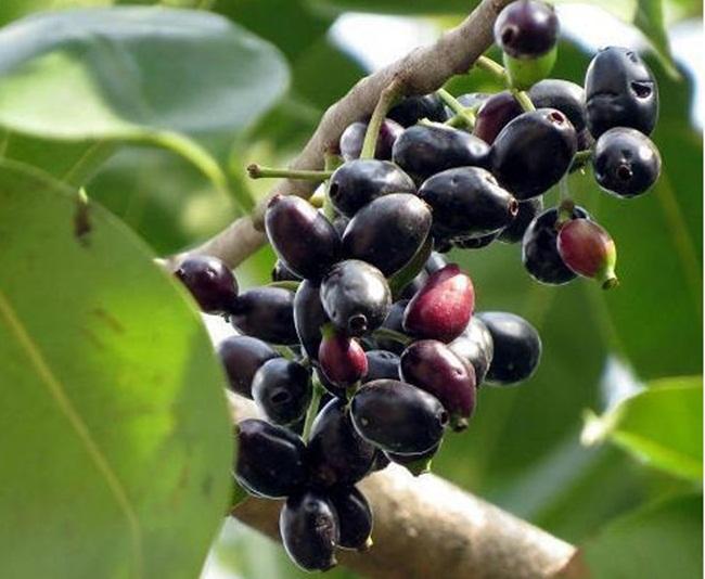 Jamun là loại quả có màu đen, mọc thành chùm. Người ta còn gọi là mận đen, ở Việt Nam tên gọi quen thuộc là quả trâm.