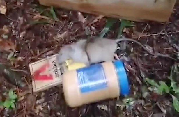 Video: Bắt được chuột khổng lồ trong rừng - 1