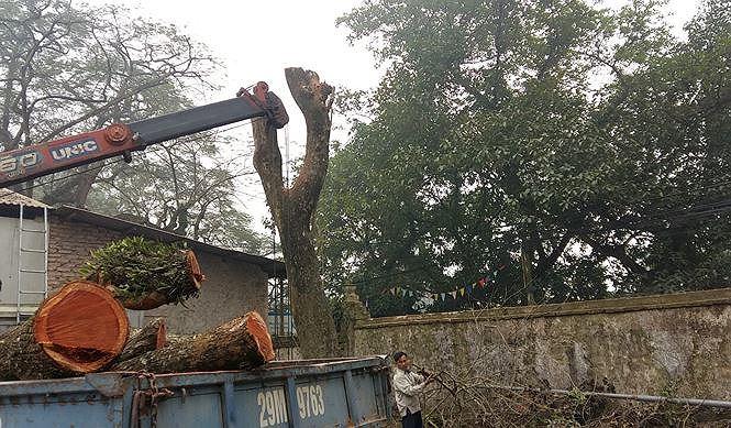 Phiên đấu giá cây gỗ sưa trăm tỷ phải hoãn vì lí do bất ngờ - 1