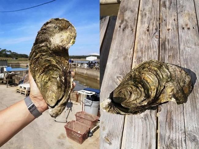 Cách đây không lâu, Mathieu Naslin, làm việc tại trang trại nuôi hàu ở Pháp đã bắt được một con hàu dài 25cm, nặng 1,44kg.