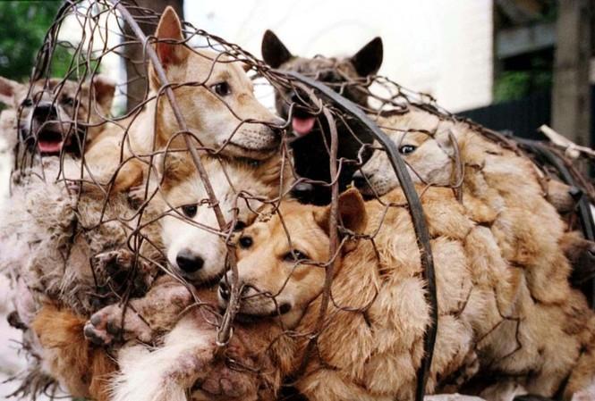 """Giải cứu hơn 40 con chó trong đêm, bắt 10 """"cẩu tặc"""" - 1"""