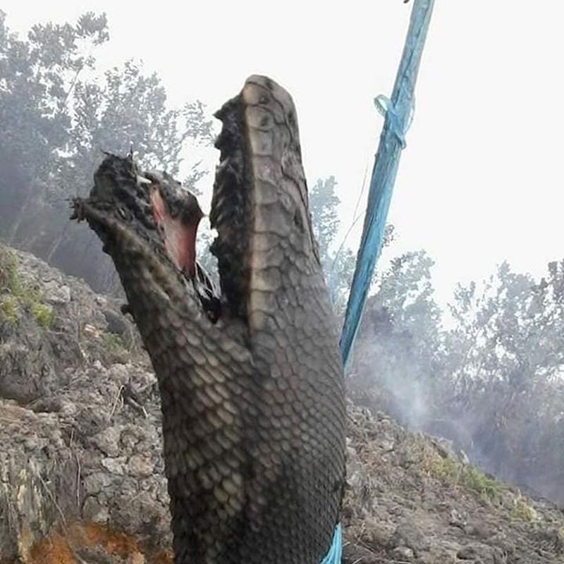 Trăn vua khổng lồ chết thảm trong đám cháy rừng ở Indonesia - 1