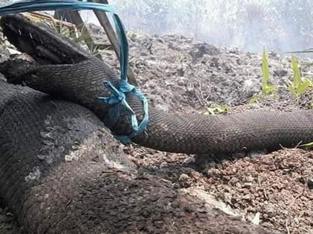 Trăn vua khổng lồ chết thảm trong đám cháy rừng ở Indonesia