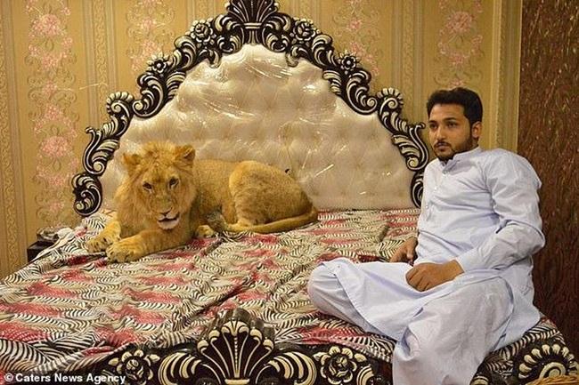Tại Pakistan, doanh nhânZulkaif Chaudhary, 33 tuổi nuôi một con sư tử từ khi nó2 tháng tuổi.