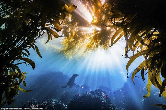 """1.Người chiến thắng giải thưởng lớn trong cuộc thi ảnh năm 2019 là Tyler Schiffman, California. Bức ảnh chụp một con sư tử biển California được đóng khung bởi những chiếc giường tảo bẹ ở vịnh Monterey, California.Ông Schiffman nói: """"Tôi đã đóng khung bức ảnh này để chờ một con sư tử biển bơi qua.Sau 5 phút, một người bơi lên và dừng lại trong vài giây.Tôi đã chụp 3 bức ảnh với những khoảnh khắc chớp nhoáng như vậy""""."""