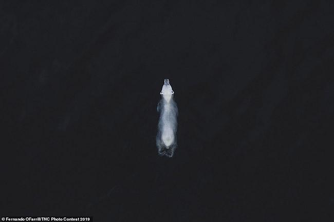 5. Hình ảnh một con gấu Bắc cực ở Svalbard, Na Uy, được chụp bởi Fernando O'Farrill. Đó là hình ảnh chiến thắng trong hạng mục động vật hoang dã.