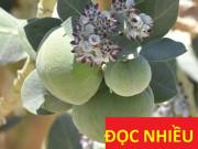 Tin tức sức khỏe - Chuyên gia lý giải về lời đồn: lá hen - khắc tinh của đờm, ho, khó thở