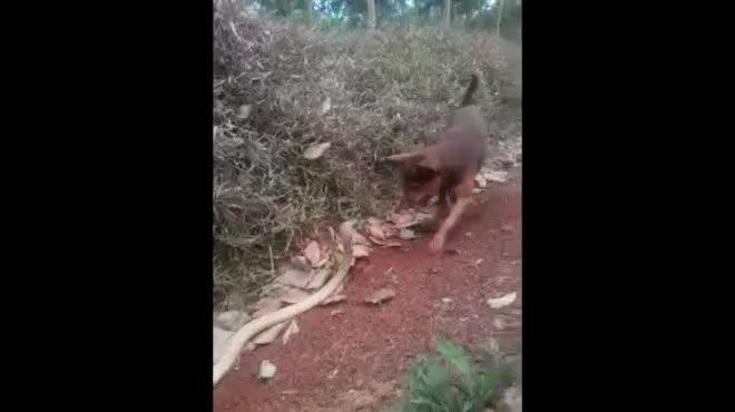 Video: Chó nhà đơn độc kịch chiến hổ mang chúa trên đường mòn và kết cục đáng thương - 1