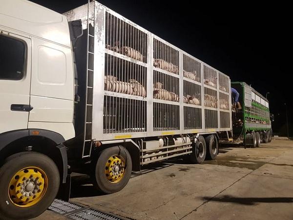 Lợn Thái Lan tiếp tục về cửa khẩu: Lợn thịt trong nước bất ngờ hạ nhiệt gần 10 giá - 1