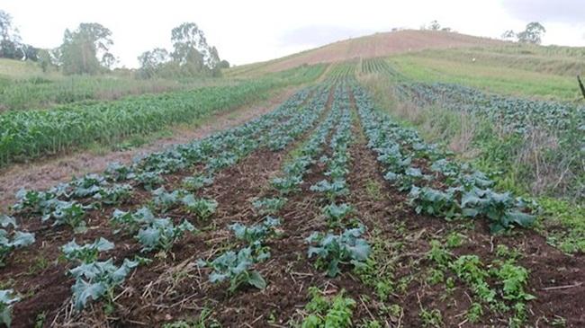 Sau khi trồng khoảng 2,5-3 tháng, súp lơ xanh sẽ cho thu hoạch.