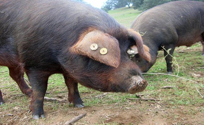 Thịt heo Iberico giữ đông được 2 năm kể từ ngày đóng gói mà không làm thay đổi chất lượng thịt.
