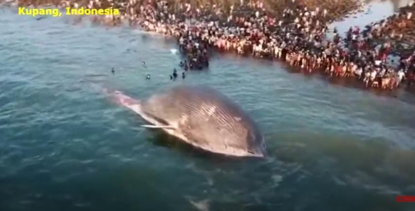 Video: Xác sinh vật khổng lồ nhất thế giới trôi dạt bờ biển Indonesia - 1