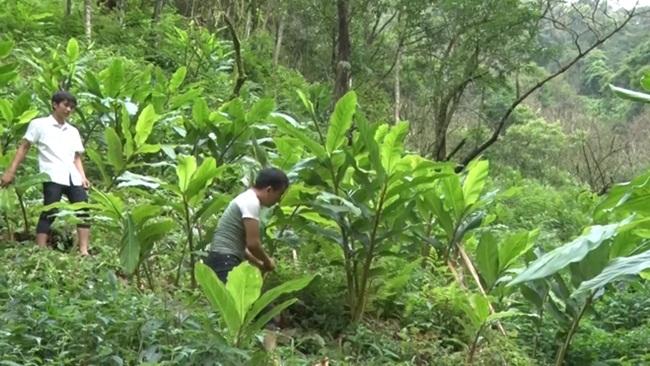 Đây là một loại gia vị và cũng là thảo dược, còn được gọi với cái tên 'nữ hoàng'. Ở Việt Nam rất nhiều nơi trồng cây này và manglại nguồn thu nhập cao. Loại cây đang được nhắc tới chính là thảo quả