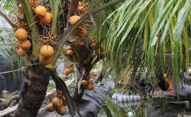 Hiện nay, nhà vườn ở TP.HCM đã và đang thực hiện mô hình du lịch sinh thái, tham quan vườn dừa Adona miễn phí. Du khách cũng sẽ được thưởng thức nước dừa Adona ngay tại vườn.