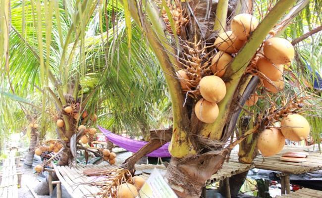 Vào dịp lễ tết, dừa hai màu có giá rất cao, từ 50.000 - 150.000 đồng/trái.