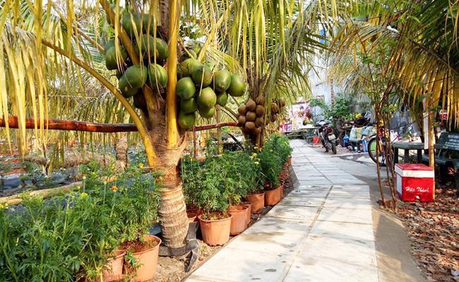 Sắp tới, giống dừa Adona này sẽ được xuất khẩu trong thời gian không xa.