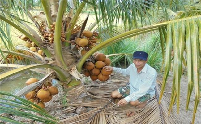 Loại dừa này ra trái quanh năm, cây trưởng thành sẽ cho khoảng 300 - 350 trái/năm, nhiều hơn so với những loại dừa khác ở Việt Nam.