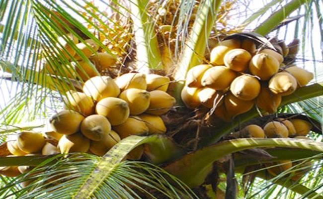 Ưu điểm của dừa Adona là ít bị sâu bệnh, đuông dừa hay bọ cánh cứng tấn công.