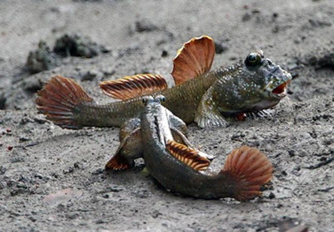 Khác với vẻ bên ngoài, thịt của cá thòi lòi dai, thơm và chắc.