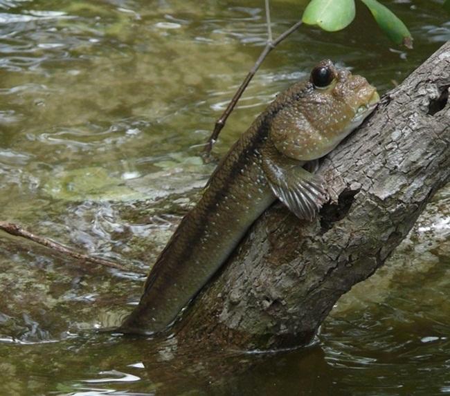 Loài cá này khá tạp ăn, chúng ăn hầu hết các loài bé hơn như tôm, còng, ba khía và các loài cá nhỏ.