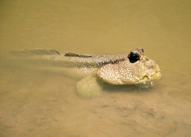 Nhưng để bắt được chúng cũng không dễ vì cá thòi lòi có đặc điểm trườn nhanh, tinh ranh. Chúng đào hang dưới bùn, hang có thể dài 2-3m.