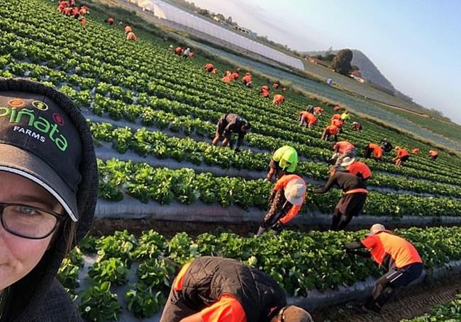 Trái cây đến lúc phải hái để đưa ra thị trường, thếnhưng những nông dân đổ tâm huyết cho cả mùa vụ lại ở trong tình cảnh chưa từng có... không có ai nhận làm công việc thu hoạch dù số tiến kiếm được không hề ít.
