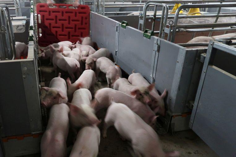 Nông dân Trung Quốc mang cả lợn đi thế chấp ngân hàng để hồi phục sau đại dịch - 1