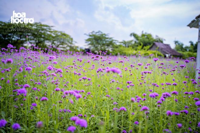 Giới trẻ Hà Nội rủ nhau check-in ở cánh đồng hoa oải hương rộng hàng chục nghìn mét vuông - 2