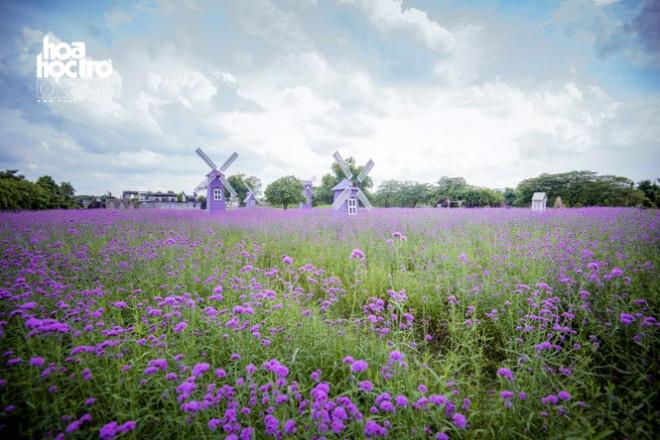 Giới trẻ Hà Nội rủ nhau check-in ở cánh đồng hoa oải hương rộng hàng chục nghìn mét vuông - 7