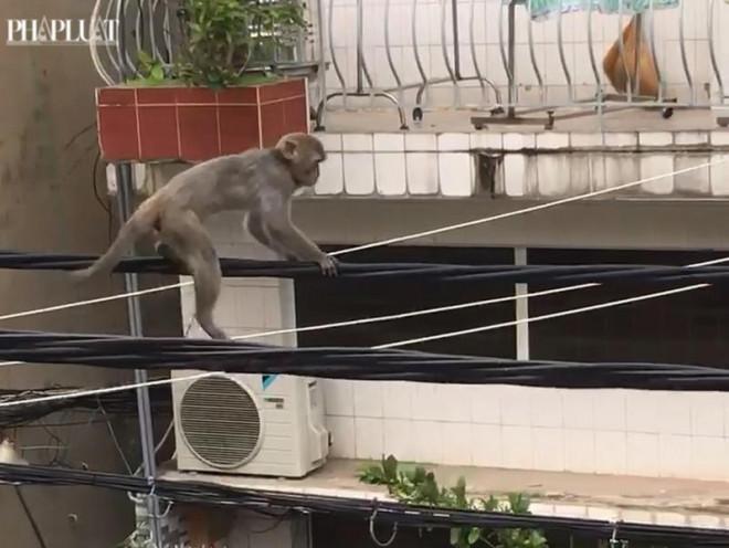 """Chú khỉ """"diễn xiếc"""" trên đường dây điện ở Bình Thạnh - 1"""