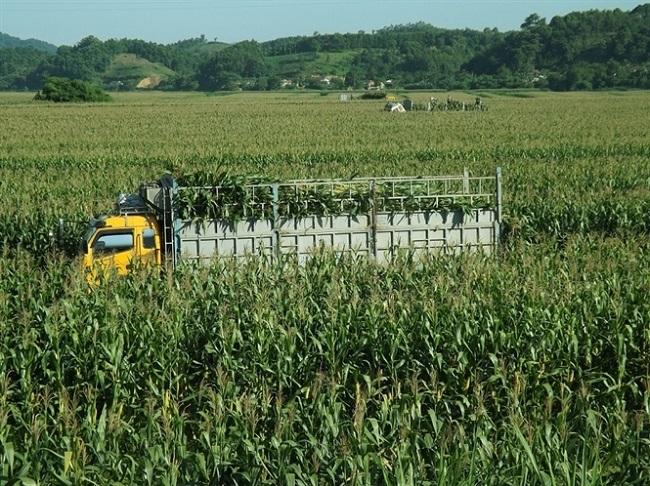 """Chuyện lạ: Nông dân trồng ngô không lấy hạt, thương lái lùng tận ruộng """"hốt"""" cả cây - 1"""