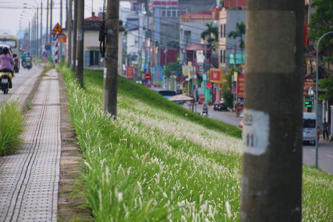 Những triền đê phủ trắng cỏ tranh ở Hà Nội - 1