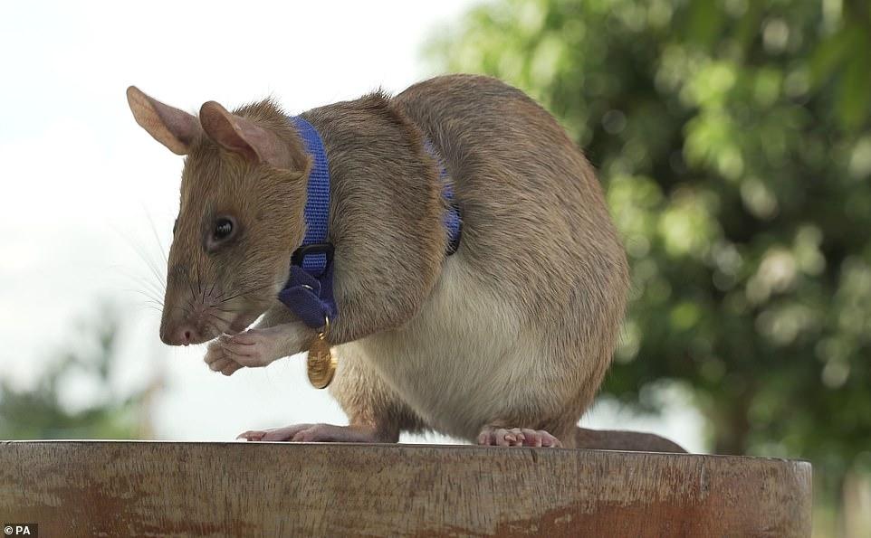 Chuột siêu phá bom được nhận huy chương vàng - 1