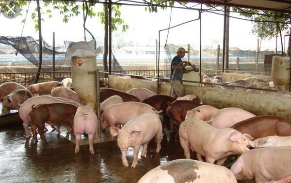"""Dịch tả lợn Châu Phi tái bùng phát: Thủ phủ chăn nuôi nhiều hộ treo chuồng, """"gác kiếm"""" - 1"""