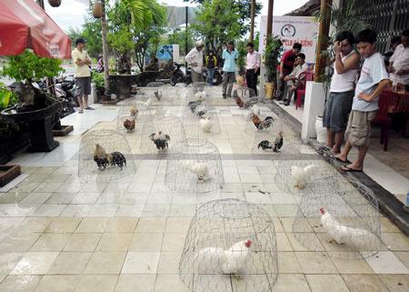 Thời gà kiểng lên ngôi (3) - 1