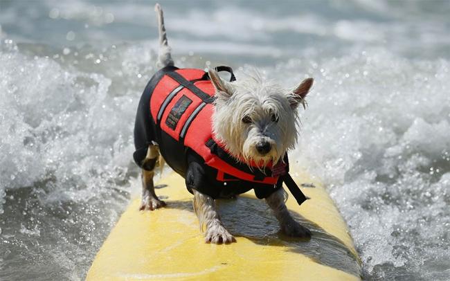 Theo các nhà tổ chức có tất cả hơn 40 chú chó tham gia tranh tài