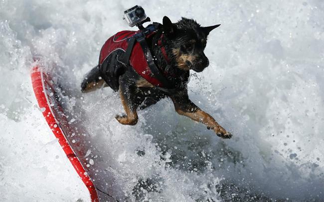 Khi vào cuộc những chú chó thi đấu hết mình không kém vì các vận động viên chuyên nghiệp