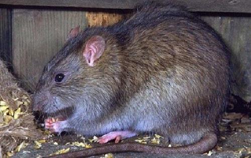 TPHCM: Phát hiện ca bệnh suy thận vì bị... chuột cắn - 1